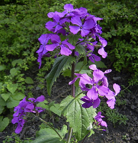 Lunaria Annua Money Plant