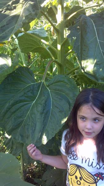 Large sunflower leaf in 2013