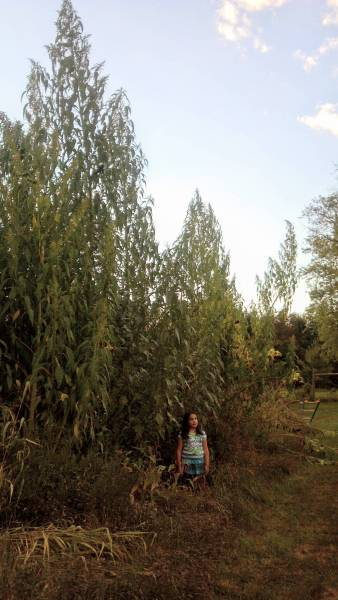 Over 24 feet tall giant amaranth in 2013