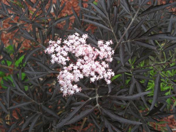 sambucus nigra black lace elderberry update backyard. Black Bedroom Furniture Sets. Home Design Ideas