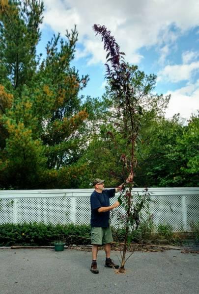 """17'9"""" Amaranthus cruentus"""