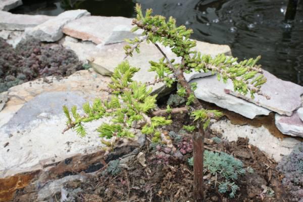 Taxodium distichum 'Gee Whiz'