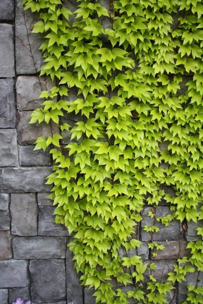 A Yellow Leaved Boston Ivy