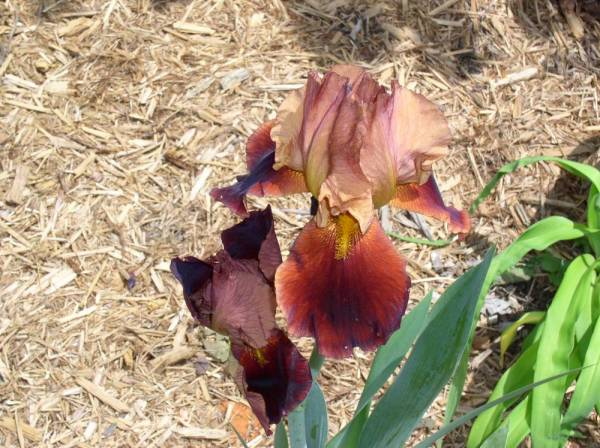 Iris 'Lady Friend'