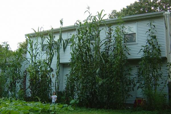 tallest corn and giant amaranth plants along my house