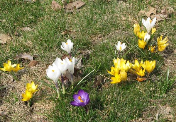 Crocuses in the Lawn