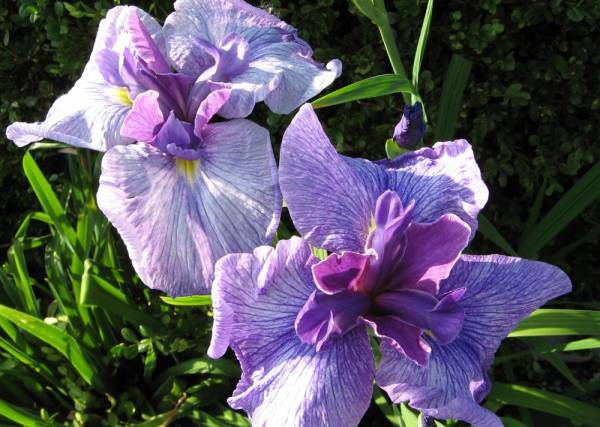 'Eden's Paintbrush' Japanese Iris