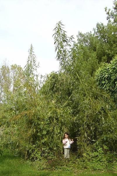 Giant amaranths (Amaranthus australis)