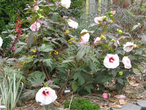 'Kopper King' Perennial Hibiscus