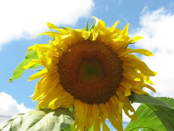 Massive Sunflower Bloom