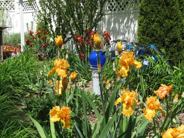Iris in Spring