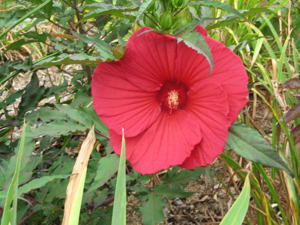 'Pinot Noir' Perennial Hibiscus