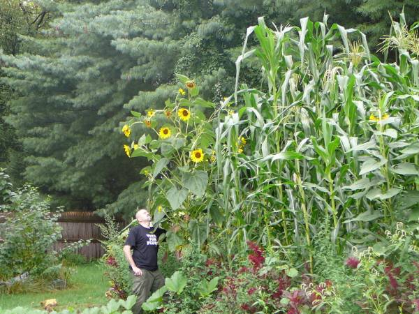 A self-sown sunflower and some Jala maize from Mexico