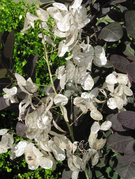Lunaria annua 'Money Plant'