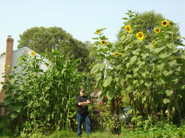 tallest sunflowers in 2007