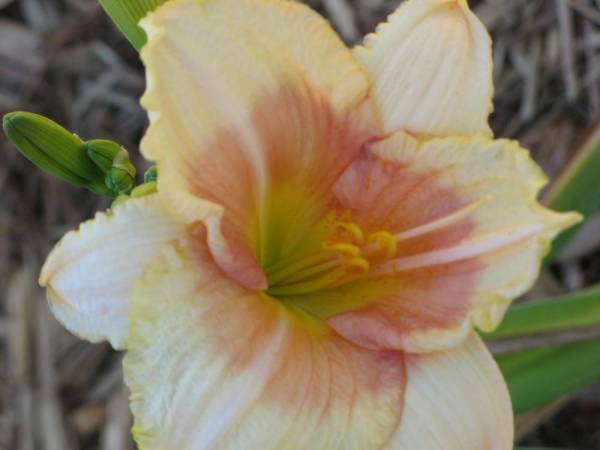 Daylily 'When My Sweetheart Returns'