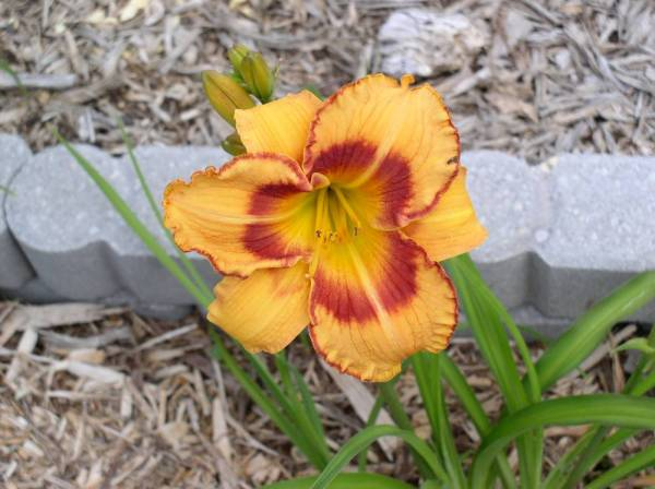 Daylily 'All Fired Up'