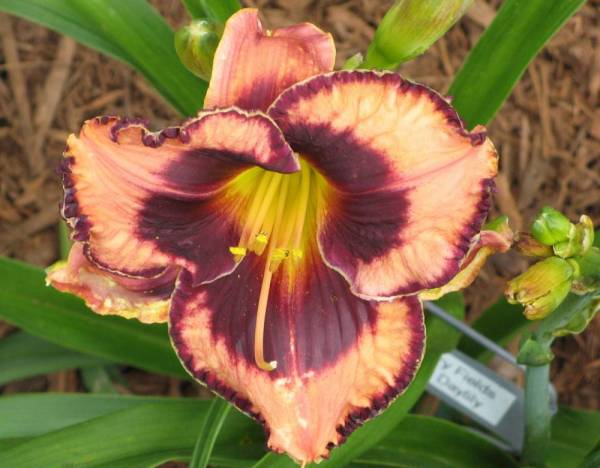 Daylily 'Awesome Blossom'
