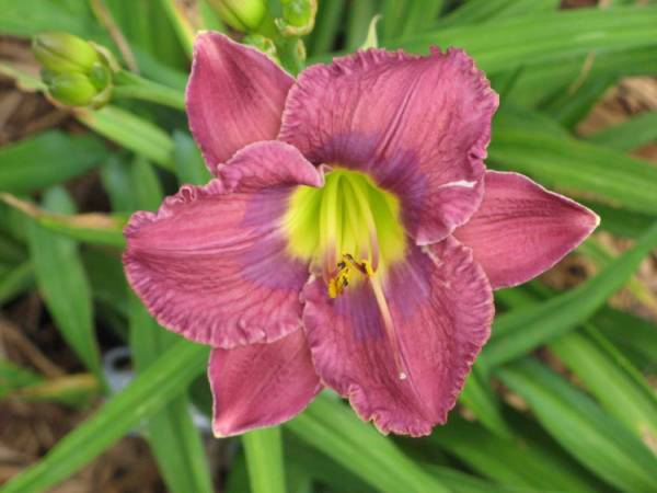 Daylily 'Song of Singapore'