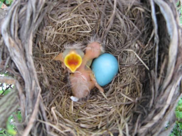 Newborn Robin Chicks