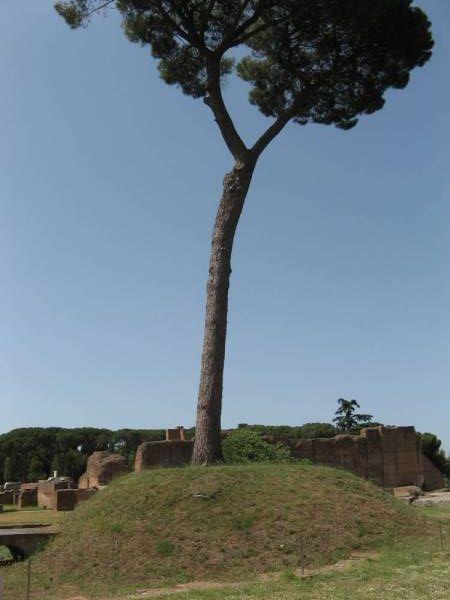 Massive Stone Pine