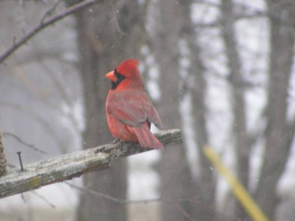 male cardinal 07