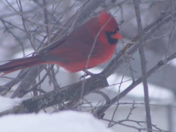 male_cardinal_08
