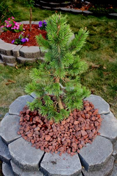 Pinus Contorta Taylor's Sunburst in Late Summer
