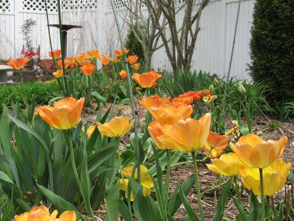 Side view of the Daydream Tulips