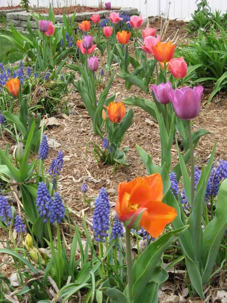 More Tulips in the Backyard Side Garden