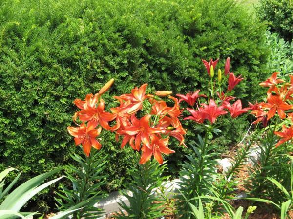 2006 Lilies