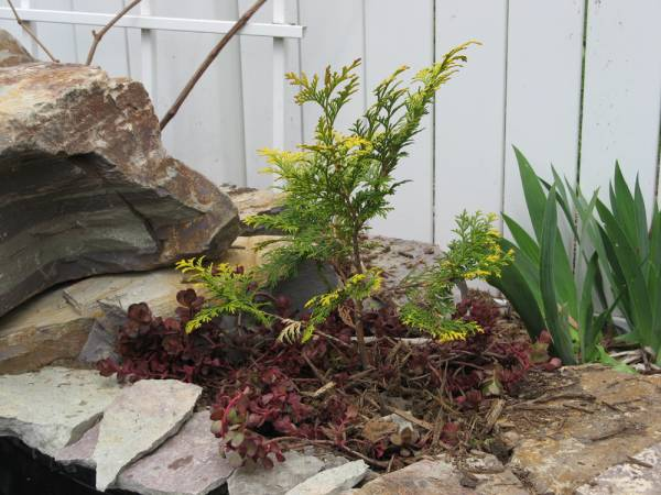 A Yellow Hinoki Cypress with a red sedum groundcover