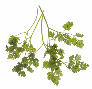 how to grow chervil indoors