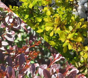 Two Barberry Varieties, yellow & red