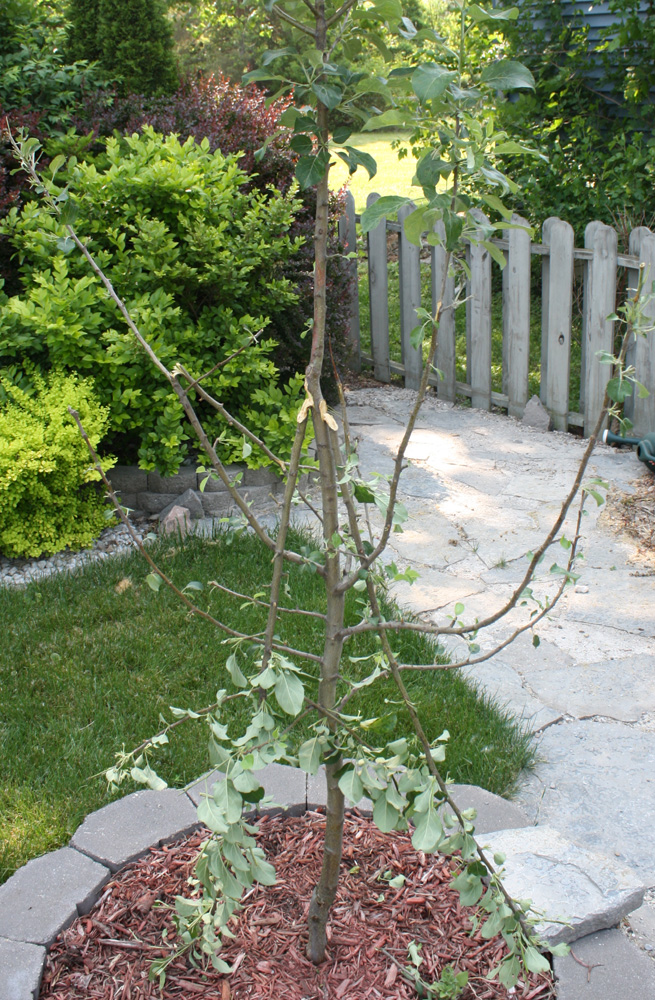 Broken Limbs on Apple Tree