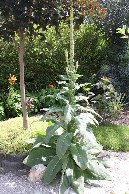 Mullein in the Garden