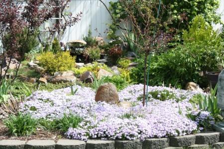 Creeping Phlox Emerald Blue, Back Garden