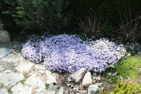 Creeping Phlox Emerald Blue, Competing with Sedum groundcover