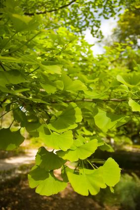 Gingo biloba foliage