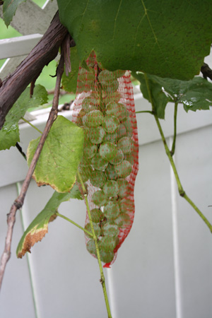 Grapes in a Bag