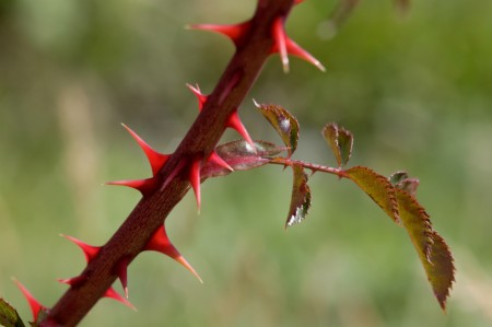Early season blackberry thorns.