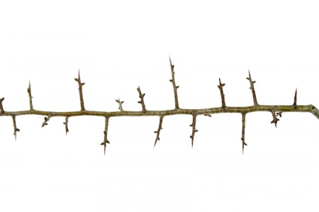 The super long thorns of the hawthorn shrub.