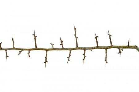 The super long thorns of the hawthorn shrub.