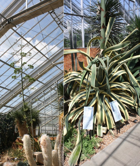 Wide shot on the left showing it towering up through the roof, the base of the plant on the right. It puts up that giant stalk in a short period of time after spending decades storing up the energy to do so.