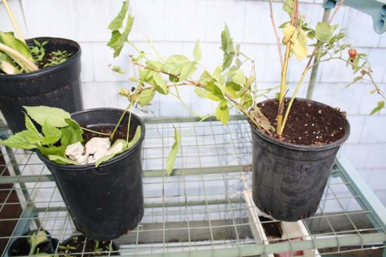Propagating boysenberry by layering from one container to the next.