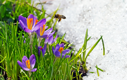 Bees need flowers as early as possible in Spring, crocuses are a great choice.