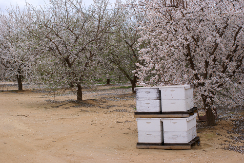 Hives on pallets trucked to an almond farm.