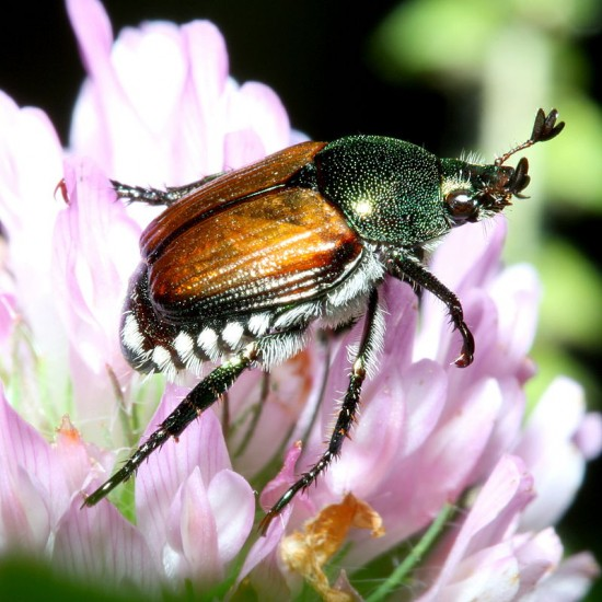 An actual Japanese Beetle. Notice the coppery wings and the iridescent green thorax. Big and slow and invasive, they should be killed when seen.