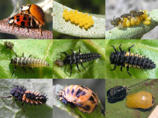 Lady Bugs Full Life Cycle
