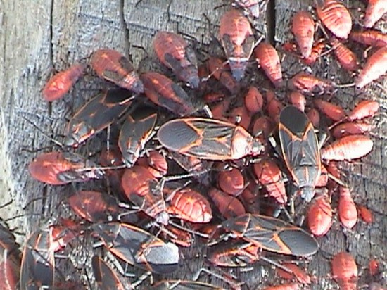Adult and juvenile box elder bugs. They may be annoying, but aren't that harmful.